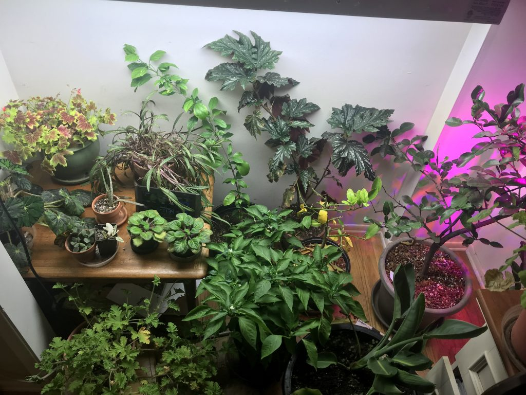 Actual Closet Plants. Two Of These Are Plants Iu0027m Overwintering For A  Friend Who Has Less Indoor Space. Those Are The Hibiscus Schizopetalus  (middle Back, ...