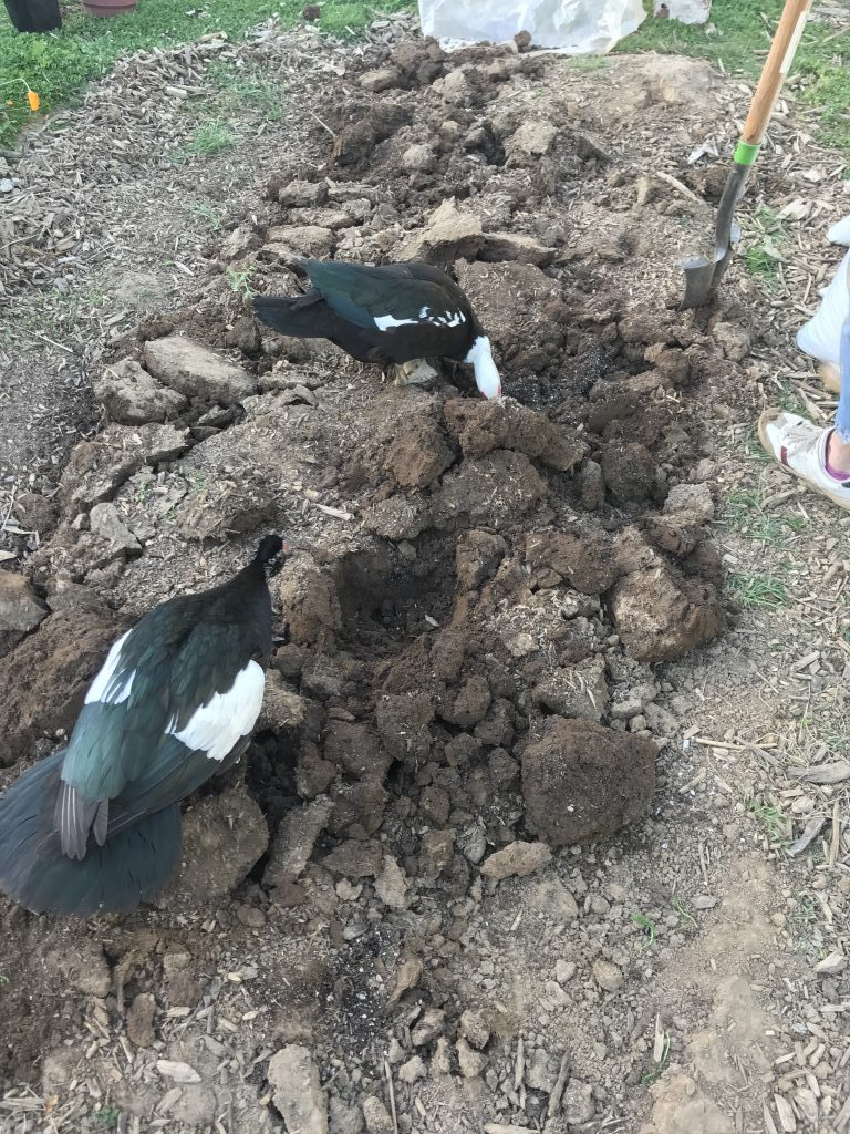 ducks help dig a new garden bed
