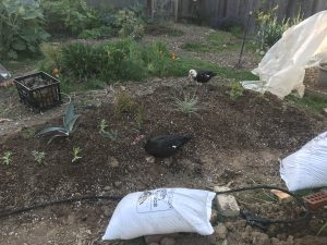 ducks in new garden bed
