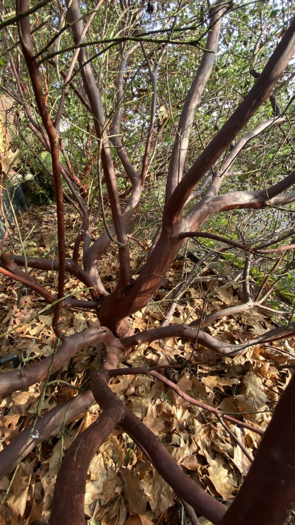 arctostaphylos branches
